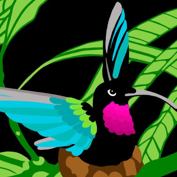 Purple Throated Carib (022)